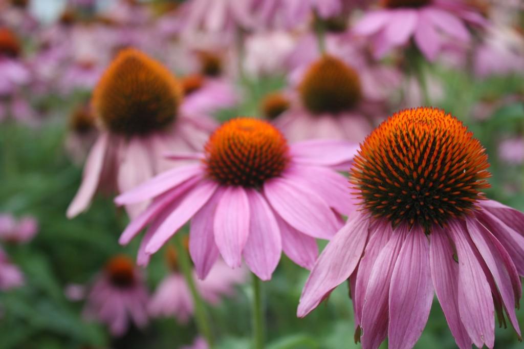 Třapatka (Echinacea) je jeden z rodů květin ozdobných květem z čeledě hvězdnicovitých (Asteraceae)